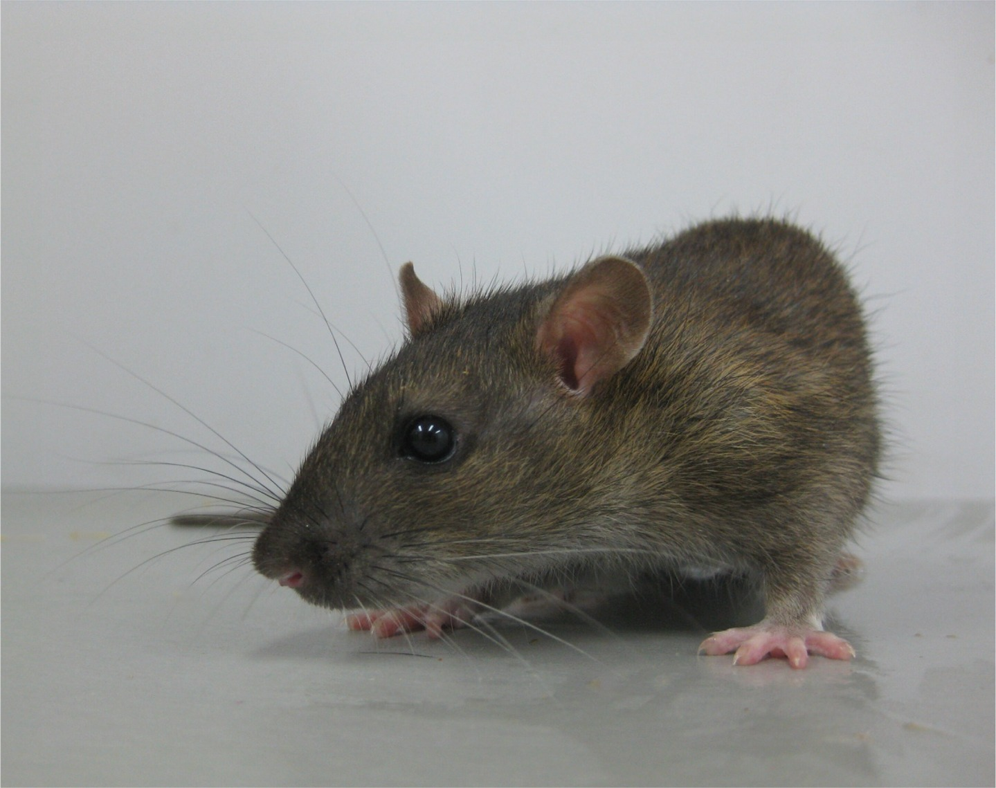 Female_WWCPS_rat